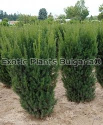 Taxus x media 'Hicksii' -30 cm