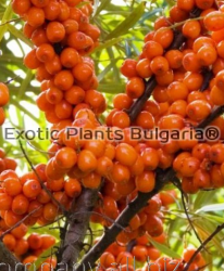 Sea Buckthorn var. Leikora
