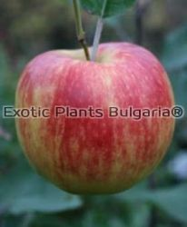 Apple Winter Gem - 2 ltr.