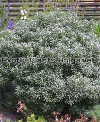 Sea Buckthorn - Hikul - male - 30 cm