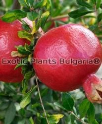 Нар Уондърфул - Pomegranate Wonderful - плодове - 10 kg