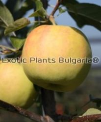 Apple Bionda® Patrizia - bare roots