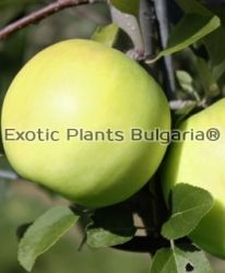 Apple Bionda® Bella - bare roots