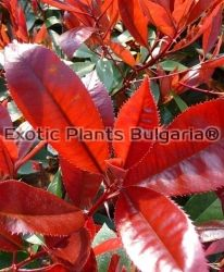Photinia x fraseri Red Robin - 0.5 ltr