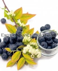 Blueberry Yello Berryblue® 'Andval1601' - 2 ltr.