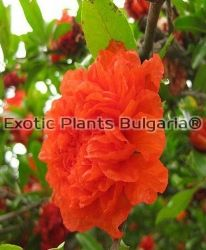 Punica granatum Pleniflora - 2 ltr.
