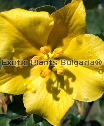 FREMONTODENDRON California Glory - 2 ltr.
