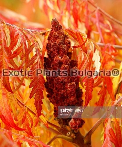Rhus typhina 'Dissecta' (LACINIATA) - 5 ltr. H 120/130
