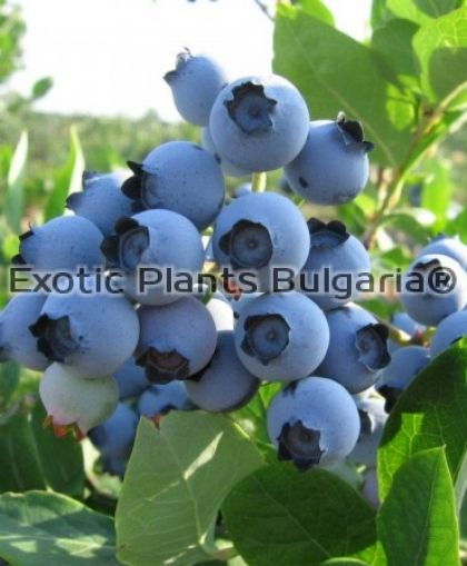 Blueberry Spartan - 2 ltr