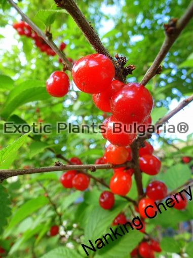 Nanking Cherry -  Hardy to - 45C