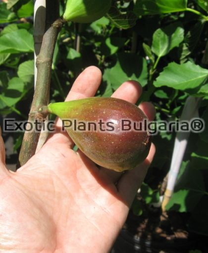 Ficus Carica - Brown Turkey - 2 ltr