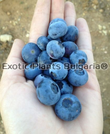 Blueberry Pioneer - 2 ltr