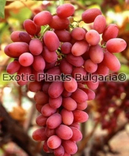 Crimson Seedless - Red Table Grape - 2 ltr.
