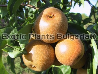 Asian pear - Hosui - 2 ltr. pots