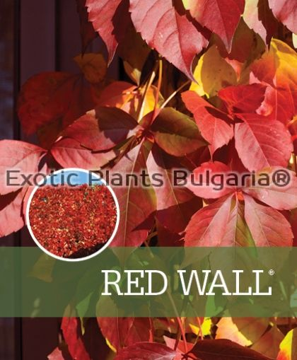 Virginia creeper Red Wall ® - 2 ltr