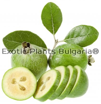 Feijoa Den's Choice - fruit-bearing plants