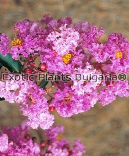 Lagerstroemia indica 'New Orleans' - 4,5 ltr pots. - 100/120