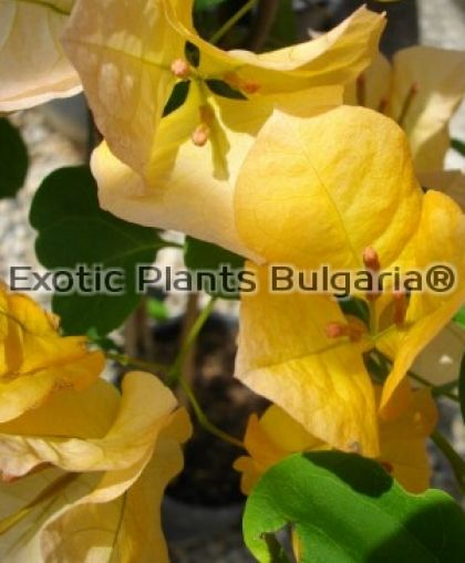 Bougainvillea Marilyn-Hatten Yellow - 150/170 cm