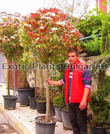 Photinia Red Robin - Topiary 35 ltr pots