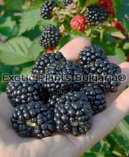 Blackberry Triple Crown - 1.5 ltr. pots