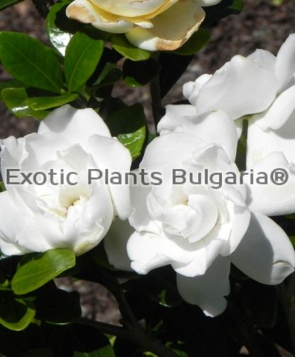 Gardenia 'Crown Jewels'® - 2 ltr.pots