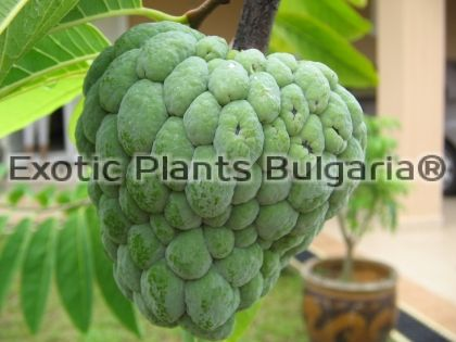 Sugar Apple var. Kakarlapahad - 1 ltr.pots