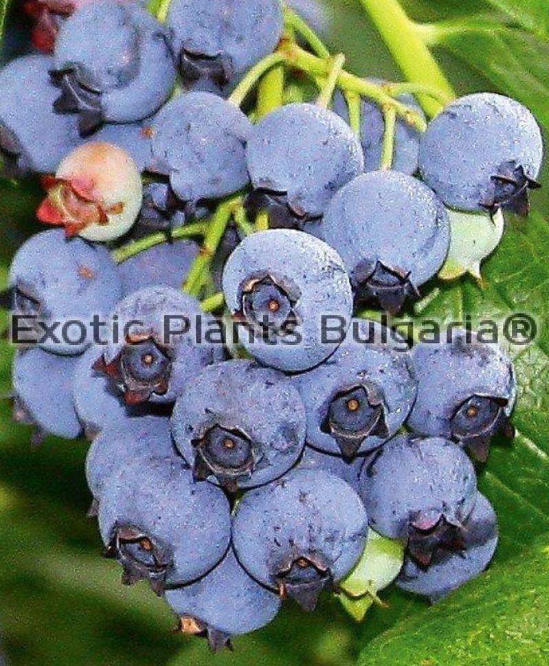 Blueberry сорт описание
