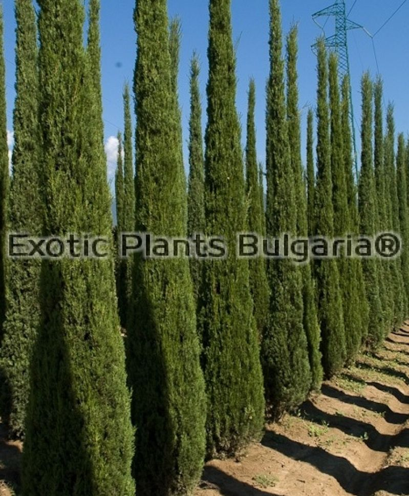 cupressus sempervirens totem 3 3 5 m. Black Bedroom Furniture Sets. Home Design Ideas