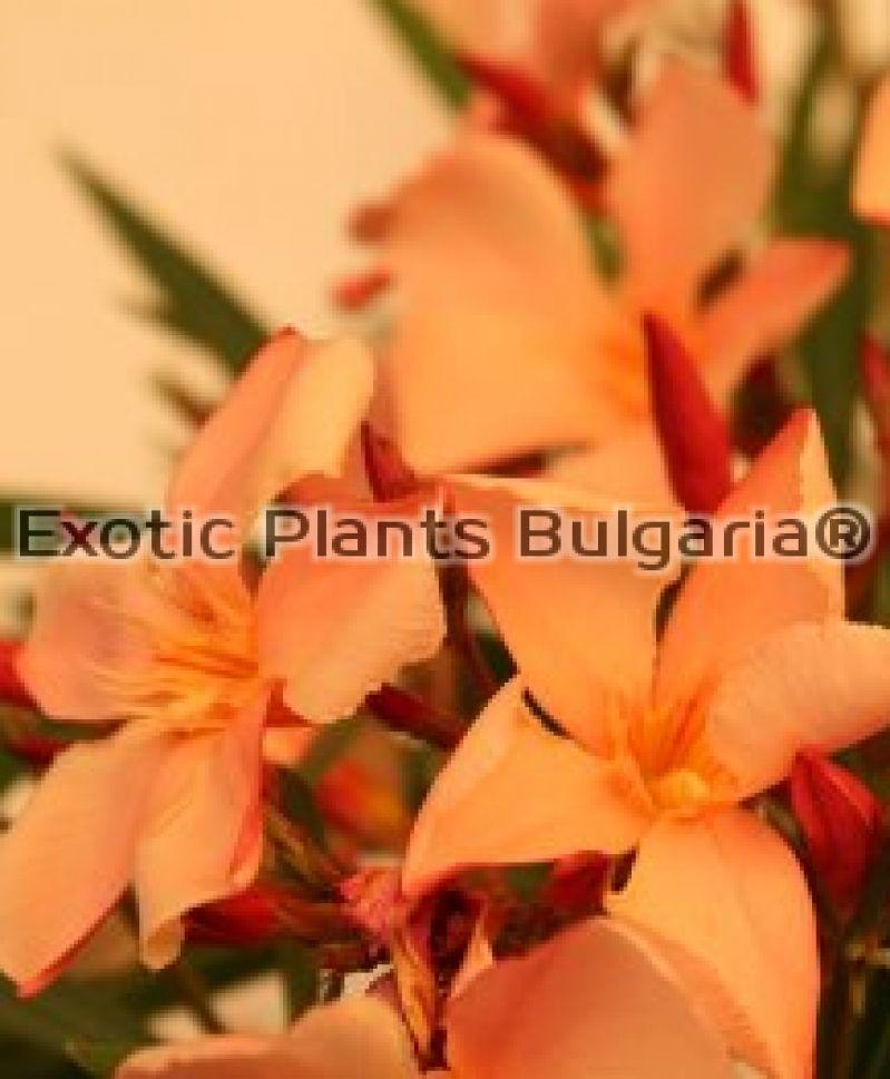 Nerium Oleander Orange Color