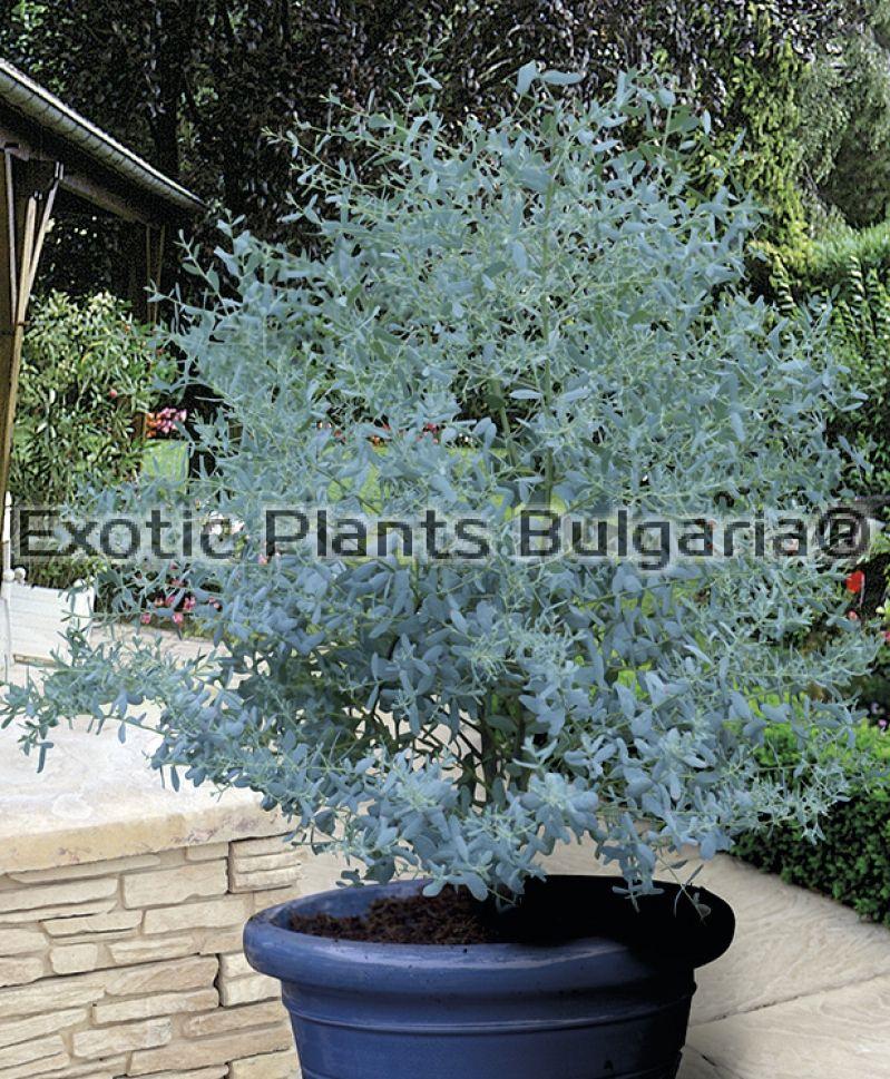 exotic plants bulgaria. Black Bedroom Furniture Sets. Home Design Ideas