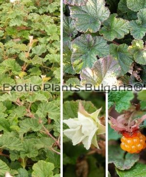 RUBUS tricolor 'Betty Ashburner' - 2 ltr