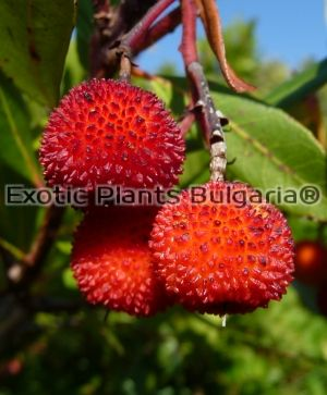 Arbutus x andrachnoides - 2 ltr.