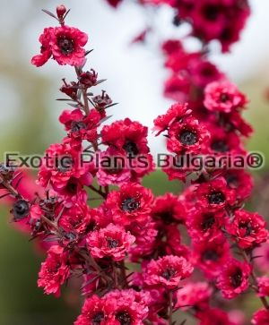 Leptospermum scoparium Winter Cheer- 3 ltr