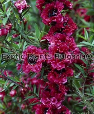 LEPTOSPERMUM scoparium Rouge double- 3.5 ltr