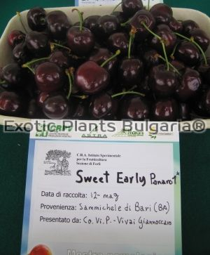 Cherry Sweet Early® Panaro 1