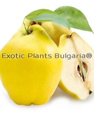 Quince Gigas