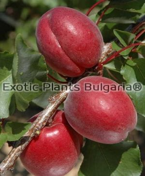 Apricot RUBISTA® IPSE140 - Bare root