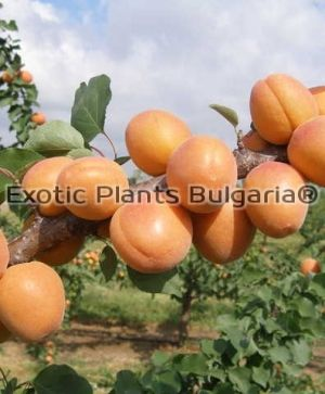 Apricot LUNAFULL® - Bare root