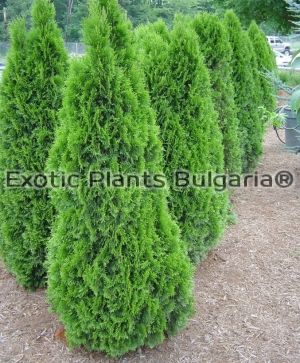 Thuja occidentalis 'Emerald' syn. Smaragd