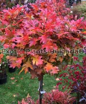 Quercus palustris 'Green dwarf' - 3 ltr
