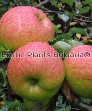 Apple BRAMLEYS SEEDLING - 2 ltr. pots