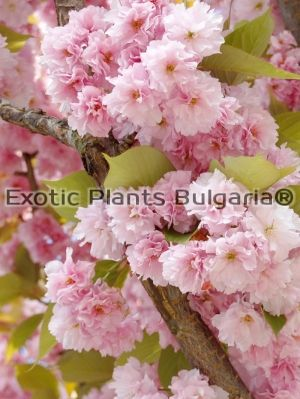 Prunus 'Kanzan' - 3 ltr.pot