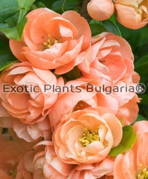Chaenomeles Japonica (Thunb.) Lindl. ех Spach - 3ltr. pots