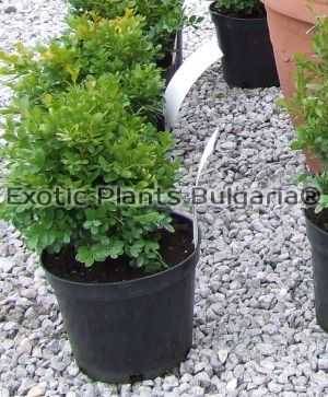 Buxus Sempervirens - English Box Hedge - 3 ltr.pots