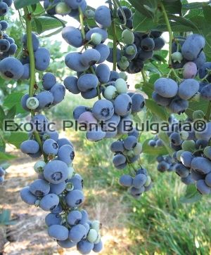 Blueberry Hardy Blue 2 ltr
