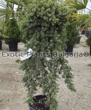 Juniperus conferta Blue Pacific - 5 ltr