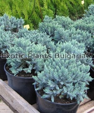 Juniperus Squamata Blue star - C2L