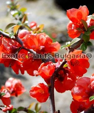 CHAENOMELES superba Orange beauty   - 2ltr. pots