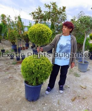 Cupressus macrocarpa Goldcrest - 2 ball