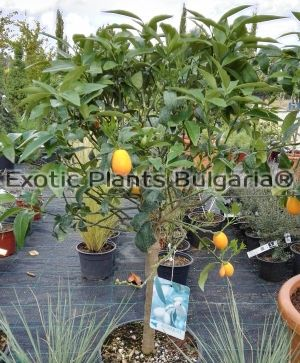 Citrus Kumquat Nagami - 9 ltr - hardy to -12С